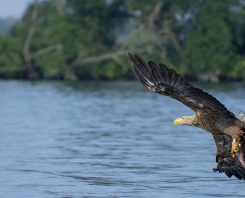 Haliaeetus albicilla, White-Tailed Eagle, Bielik, Birkut, bird of prey, bird with fish, eagle with fish, hunt, hunter, wings, fly, bird, beak, wings, blue background, brown bird, attack, ptak, orzeł, bielik z rybą, ptak z rybą, orzeł z rybą, niebieskie niebo, niebieskie tło, brązowy ptak, ptak drapieżny, skrzydła, atak, polowanie, szybkość, prędkość