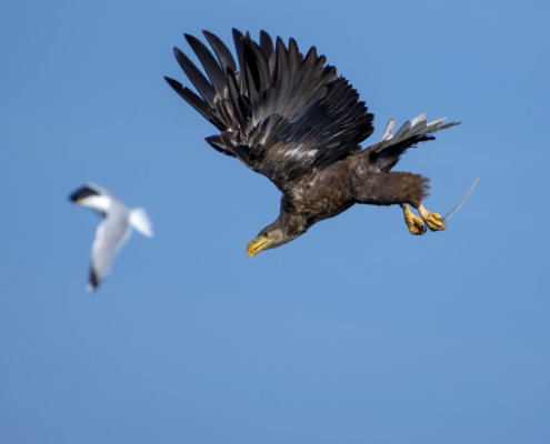 Haliaeetus albicilla, White-Tailed Eagle, Bielik, Birkut, bird of prey, hunt, hunter, wings, fly, bird, beak, wings, sea gul, sea gul in background, blue background, brown bird, ptak, orzeł, mewa w tle, mewa, niebieskie niebo, niebieskie tło, brązowy ptak, ptak drapieżny, skrzydła, atak, polowanie