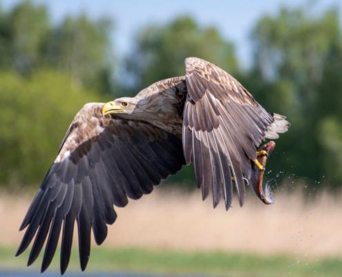 White-Tailed Eagle, Haliaeetus albicilla, Bielik, Birkut, wingspan, fish, bird with fish, bird of prey, fish in the claws of a bird, bird, wild life, nature, Artur Rydzewski, trees
