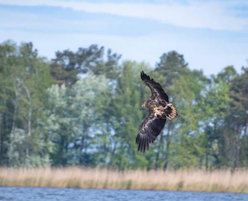 White-Tailed Eagle, Haliaeetus albicilla, Bielik, Birkut, wingspan, bird of prey, bird, wild life, water, nature, Artur Rydzewski, trees in background, eagle, orzeł