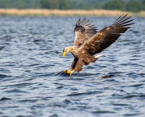 White-Tailed Eagle, Haliaeetus albicilla, Bielik, Birkut, wingspan, bird of prey, bird, wild life, water, nature, Artur Rydzewski, trees in background, eagle, orzeł, atak, atack