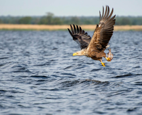 White-Tailed Eagle, Haliaeetus albicilla, Bielik, Birkut, wingspan, fish, bird with fish, bird of prey, fish in the claws of a bird, bird, wild life, nature, Artur Rydzewski, big fish