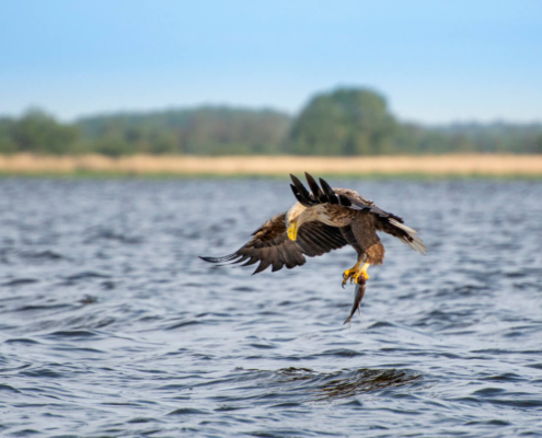 White-Tailed Eagle, Haliaeetus albicilla, Bielik, Birkut, wingspan, fish, bird with fish, bird of prey, fish in the claws of a bird, bird, wild life, nature, Artur Rydzewski, trees, big fish, look at fish, prey