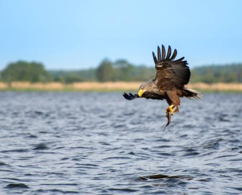 White-Tailed Eagle, Haliaeetus albicilla, Bielik, Birkut, wingspan, fish, bird with fish, bird of prey, fish in the claws of a bird, bird, wild life, nature, Artur Rydzewski, big fish, blue sky