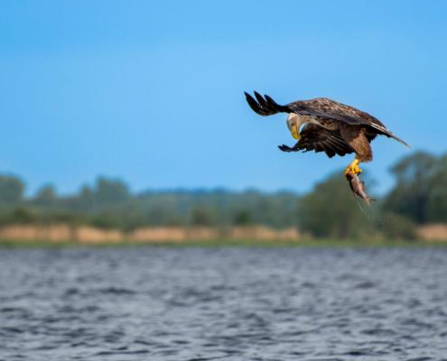 White-Tailed Eagle, Haliaeetus albicilla, Bielik, Birkut, wingspan, fish, bird with fish, bird of prey, fish in the claws of a bird, bird, wild life, nature, Artur Rydzewski, big fish, blue sky, brown bird