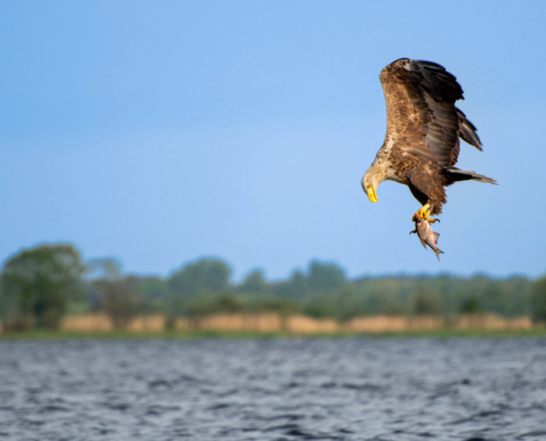 White-Tailed Eagle, Haliaeetus albicilla, Bielik, Birkut, wingspan, fish, bird with fish, bird of prey, fish in the claws of a bird, bird, wild life, water, nature, Artur Rydzewski, orzeł, eagle, brown bird, drapieżnik, ptak drapieżny, in flight