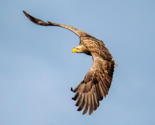 White-Tailed Eagle, Haliaeetus albicilla, Bielik, Birkut, wingspan, bird of prey, bird, wild life, nature, Artur Rydzewski, orzeł, eagle, brown bird, drapieżnik, ptak drapieżny, atak, atack