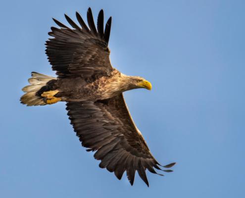 White-Tailed Eagle, Haliaeetus albicilla, Bielik, Birkut, wingspan, bird of prey, bird, wild life, nature, Artur Rydzewski, orzeł, eagle, brown bird, drapieżnik, ptak drapieżny, blue sky