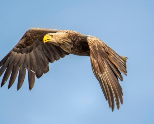 White-Tailed Eagle, Haliaeetus albicilla, Bielik, Birkut, wingspan, bird of prey, bird, wild life, nature, Artur Rydzewski, orzeł, eagle, brown bird, drapieżnik, ptak drapieżny, dziób, beak, yellow beak