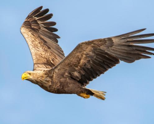 White-Tailed Eagle, Haliaeetus albicilla, Bielik, Birkut, wingspan, bird of prey, bird, wild life, nature, Artur Rydzewski, orzeł, eagle, brown bird, drapieżnik, ptak drapieżny, dziób, beak, yellow beak, big bird, duży brązowy ptak
