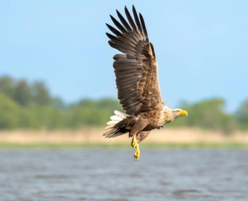 White-Tailed Eagle, Haliaeetus albicilla, Bielik, Birkut, wingspan, bird of prey, bird, wild life, nature, Artur Rydzewski, orzeł, eagle, brown bird, drapieżnik, ptak drapieżny, dziób, beak, yellow beak, water