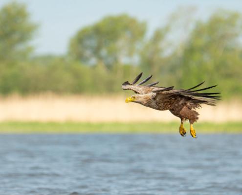 White-Tailed Eagle, Haliaeetus albicilla, Bielik, Birkut, wingspan, bird of prey, bird, wild life, nature, Artur Rydzewski, orzeł, eagle, brown bird, drapieżnik, ptak drapieżny, dziób, beak, yellow beak, water, low flight