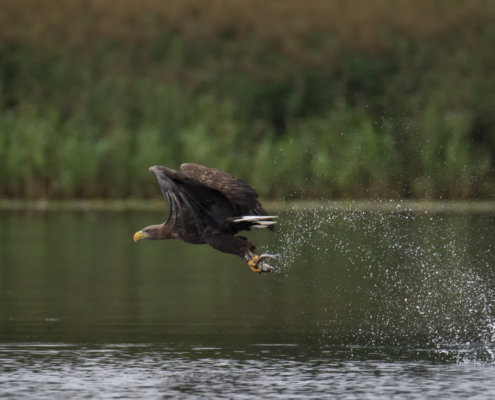 White-tailed eagle, Haliaeetus albicilla, Bielik, Birkut, fish, hunter, bird of prey, wildlife, nature photography