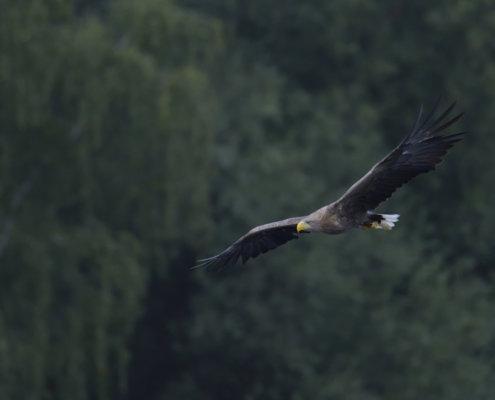White-tailed eagle, Haliaeetus albicilla, Bielik, Birkut, bird in flight, bird of prey, wingspan, wild life, nature photography