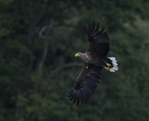 White-tailed eagle, Haliaeetus albicilla, Bielik, Birkut, bird of prey, bird in flight, wild life, nature