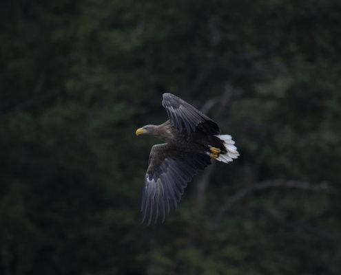 White-tailed eagle, Haliaeetus albicilla, Bielik, Birkut, bird of prey, bird in flight, wildlife nature photography