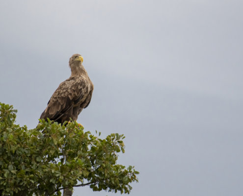 White-tailed eagle, Bielik, Birkut, Haliaeetus albicilla, eagle, big brown bird on tree, wild life