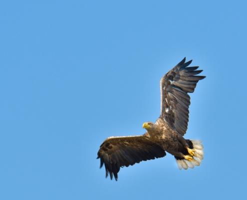 White-tailed eagle, Bielik, birkut, Haliaeetus albicilla, bird of prey big bird wild life bird in flight, nature photography Artur Rydzewski, wingspan