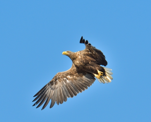 White-tailed eagle, Bielik, birkut, Haliaeetus albicilla, bird of prey big bird wild life bird in flight, blue background, nature photography Artur Rydzewski, wingspan