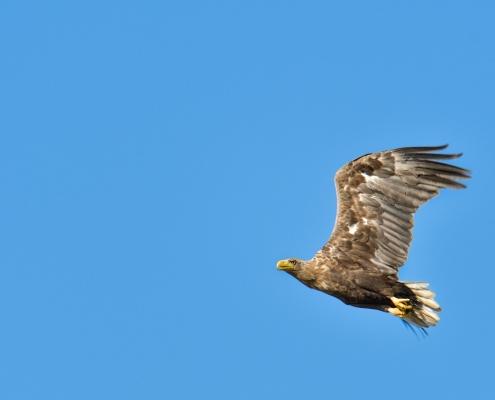 White-tailed eagle, Bielik, birkut, Haliaeetus albicilla, bird of prey big bird wild life bird in flight, blue background, nature photography Artur Rydzewski