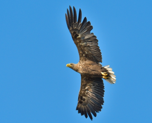 White-tailed eagle, Bielik, birkut, Haliaeetus albicilla, bird of prey big bird wild life bird in flight, nature photography Artur Rydzewski, wingspan, old adult