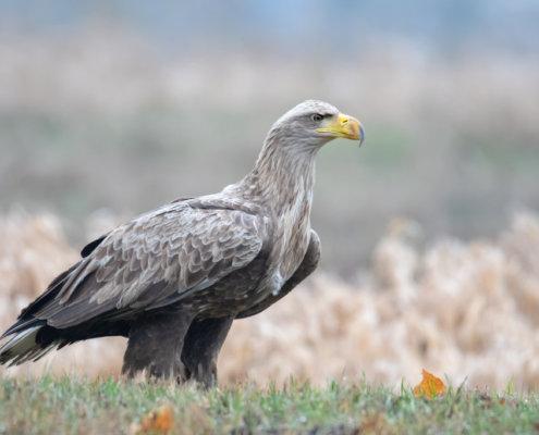 White-tailed eagle bird of prey