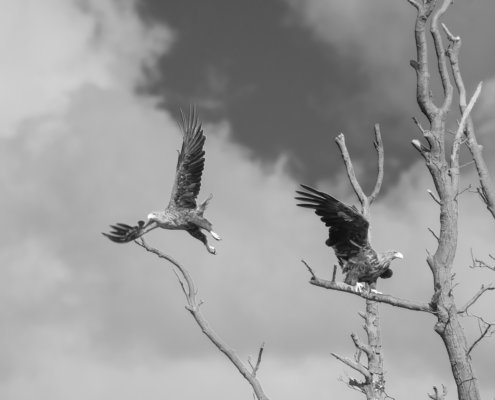 White-tailed eagle, Haliaeetus albicilla, Bielik, Birkut, ptak, ptak drapieżny, orzeł, eagle, bird of prey, bw, b&w, black and white, Szczecin, tree.