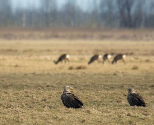 White-tailed eagle, Haliaeetus albicilla, Bielik, Birkut, orzeł, ptak, ptak drapieżny, dwa ptaki, bird, birds, bird of pray, nature, natura, eagle, wildlife, field, Artur Rydzewski