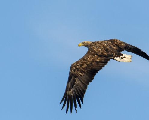 White-tailed eagle, Haliaeetus albicilla, Bielik, Birkut, orzeł, ptak, ptak drapieżny, bird, bird of pray, nature, natura, eagle, wildlife, fly, flying bird, blue background, Artur Rydzewski, wing
