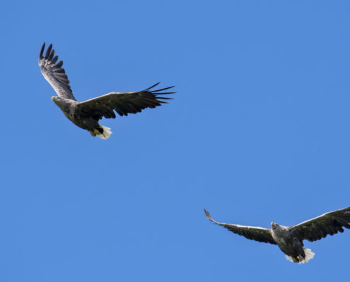 White-tailed eagle, Haliaeetus albicilla, Bielik, Birkut, orzeł, ptak, ptak drapieżny, dwa ptaki, bird, birds, bird of pray, nature, natura, eagle, wildlife, fly, flying birds, blue background, Artur Rydzewski