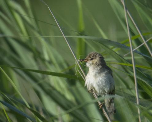Trzcinniczek, Reed warbler, Acrocephalus scirpaceus