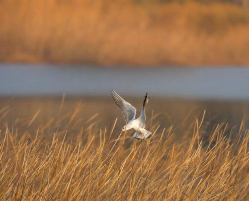 Black-headed gull, Chroicocephalus ridibundus, mewa śmieszka, water bird