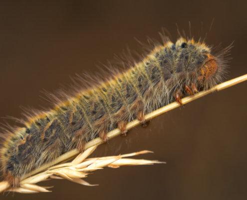 Gąsienieca, Caterpillar close up macro photography