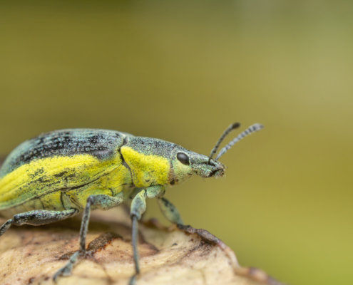Chlorophanus viridis, Zielończyk zielony, insect close up macro photography