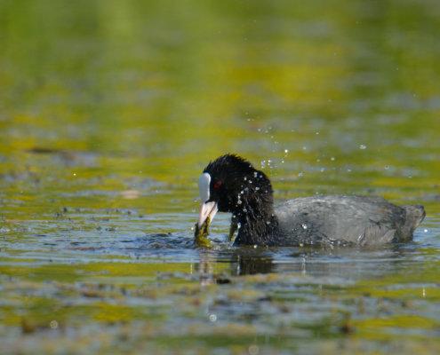 Coot, black water bird