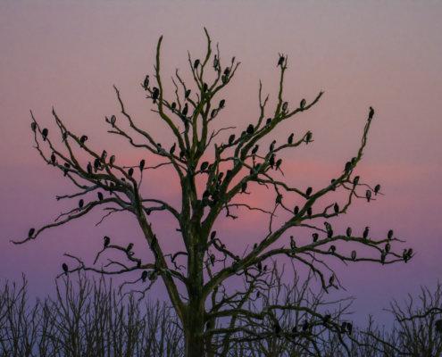 Ggreat cormorant, Phalacrocorax carbo, Kormoran zwyczajny, kormoran czarny, black water birds tree full of birds sunset sunrise tree
