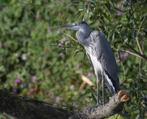 Grey heron, Ardea cinerea, Czapla siwa, grey heron on tree branch, wild life