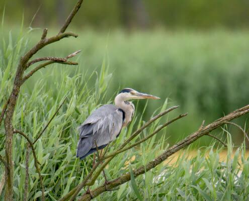 Grey heron, Ardea cinerea, Czapla siwa, ptak, szary ptak, bird, grey bird, close up, big beak, nature, wildlife,