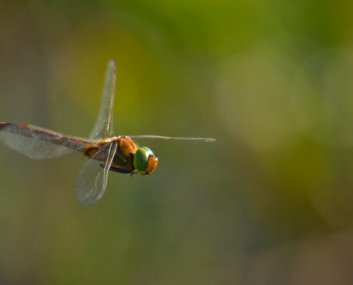 Dragonfly, Ważka, dragonfly in flight, insect in flight close up