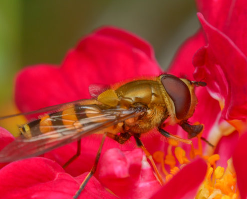 Episyrphus balteatus, Marmalade hoverfly, Bzyg prążkowany, Macro photography, red flower