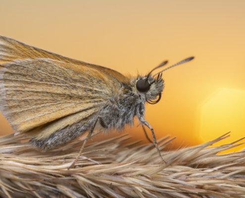 Essex skipper, Thymelicus lineola, Karłątek ryska, orange butterfly close up macro photography