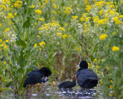 Eurasian coot, Fulica atra, Łyska, coot in flowers, yellow flower, black water bird