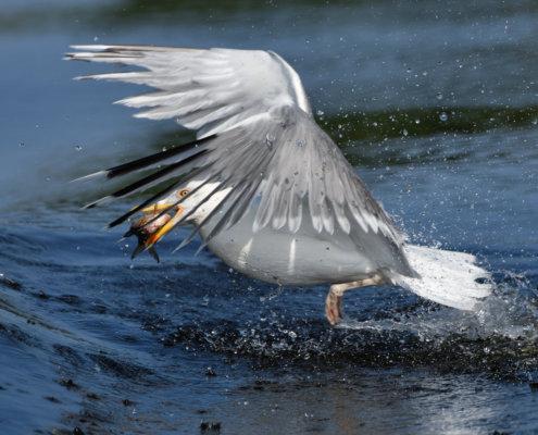 European herring gull, Larus argentatus, Mewa srebrzysta, water bird wingspan
