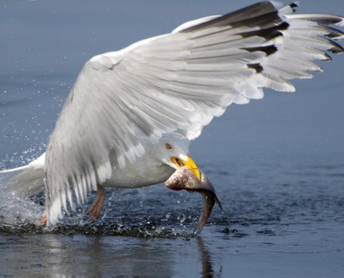 European herring gull, Larus argentatus, Mewa srebrzysta, hunting, bird with fish, fishing, water bird close up