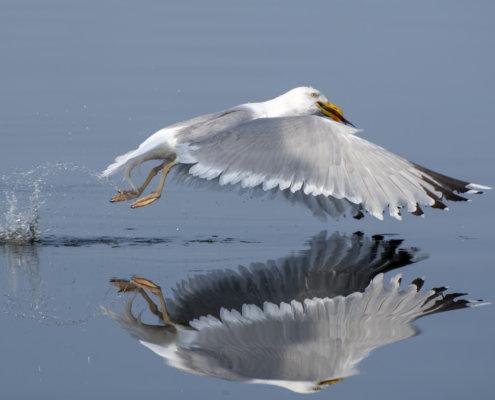 European herring gull, Larus argentatus, Mewa srebrzysta, water reflection, water bird
