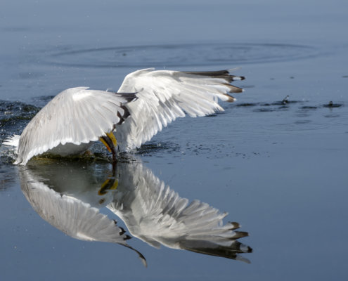 European herring gull, Larus argentatus, Mewa srebrzysta, water reflection, bird