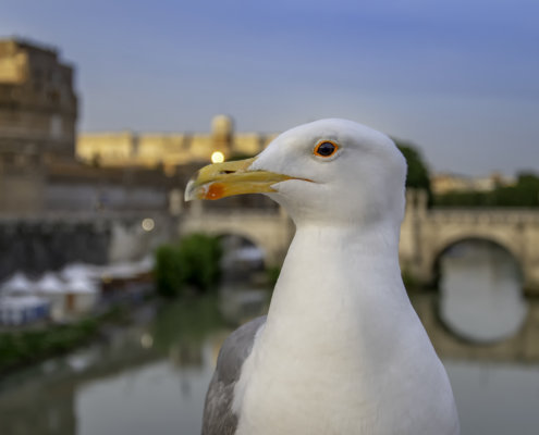 European herring gull, Larus argentatus, Mewa srebrzysta, Gull in Rome, rome bird, birds in Rome