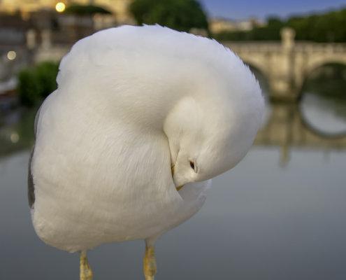 Gull in Rome