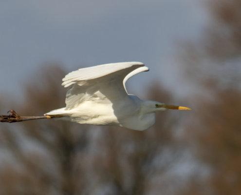water bird, Great egret, Ardea alba, Czapla biała, white big bird in flight, nature photography