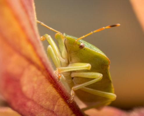 Green shield bug, Palomena prasina, Odorek zieleniak, insect close up